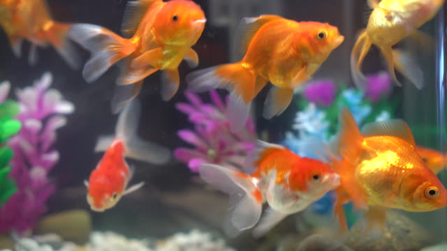goldfish - fishbowl stock videos and b-roll footage
