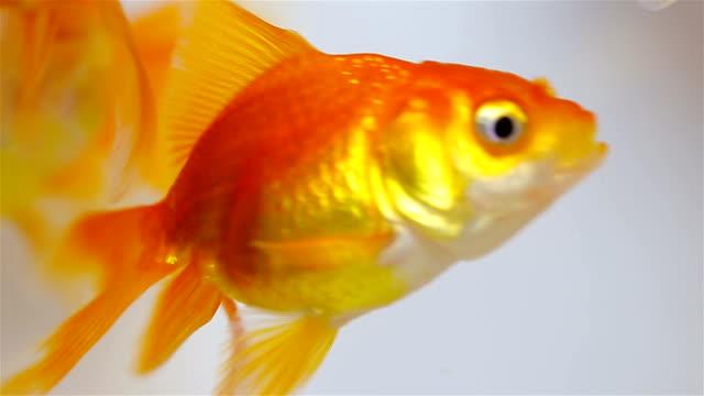 vídeos de stock e filmes b-roll de goldfish - cor isolada