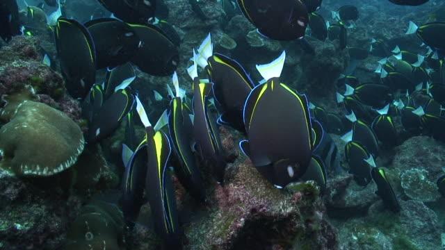 goldrim surgeonfish - pälsteckning bildbanksvideor och videomaterial från bakom kulisserna