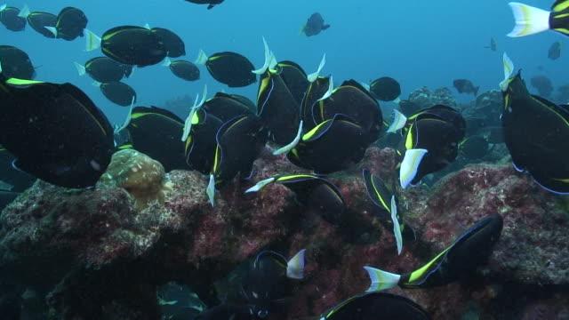 Goldrim Surgeonfish