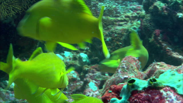goldsaddle goatfish (parupeneus cyclostomus) on coral reef, banda islands, indonesia - triglia tropicale video stock e b–roll