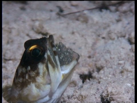 CU Gold-specs jawfish brooding eggs in mouth, Malaysia