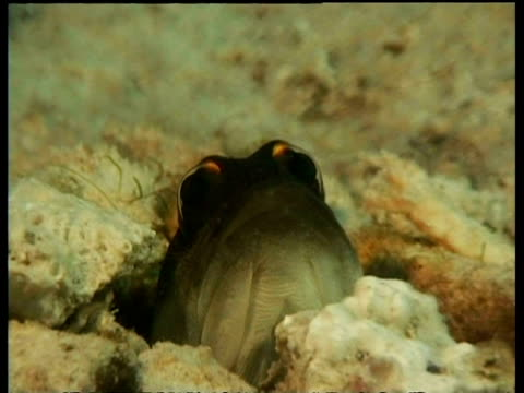 Gold-specs Jawfish, head sticking out of hole in seabed, zoom in to CU head and eyes, Mabul, Borneo, Malaysia