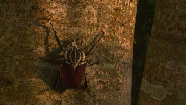 a goliath beetle climbs a tree trunk. - beetle stock videos & royalty-free footage