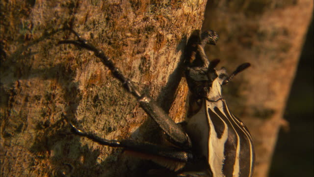 a goliath beetle clings to a tree trunk. - tree trunk stock videos & royalty-free footage