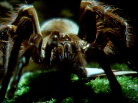 goliath bird eating spider crawls to camera, brazil - bbc stock videos and b-roll footage