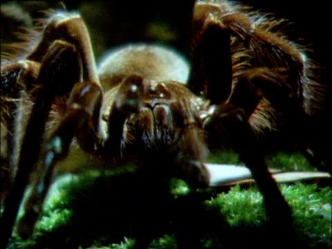 Goliath bird eating spider crawls to camera, Brazil