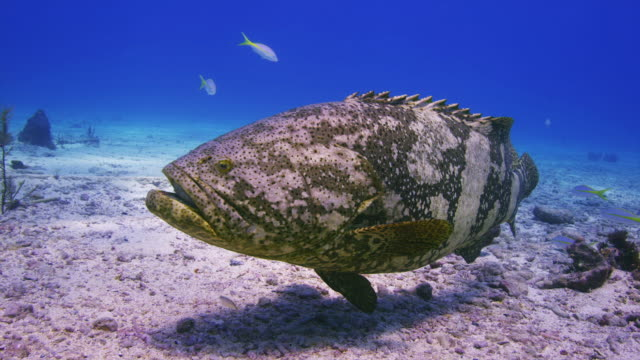 Goliath Grouper at City of Washington, Full body sideview to close face.