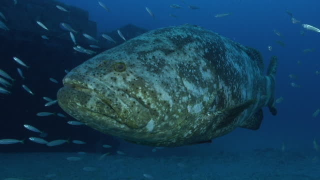 goliath grouper spawning season - grouper stock videos & royalty-free footage
