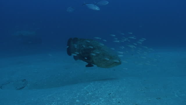 Goliath Grouper Spawning Season