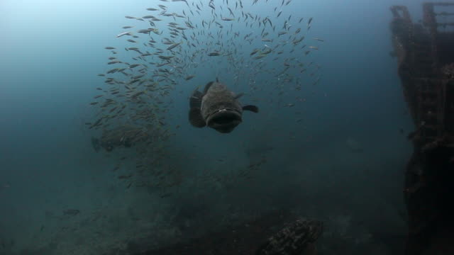 goliath grouper - grouper stock videos & royalty-free footage