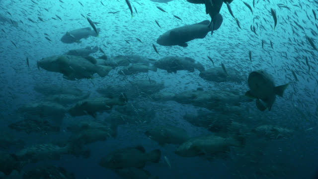 """goliath groupers surrounded by smaller fish, florida - """"bbc natural history"""" stock videos & royalty-free footage"""