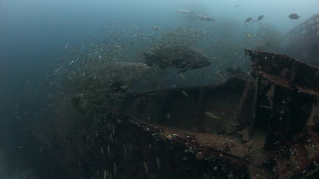 goliath groupers swim along a shipwreck surrounded by swarm of bait fish - grouper stock videos & royalty-free footage