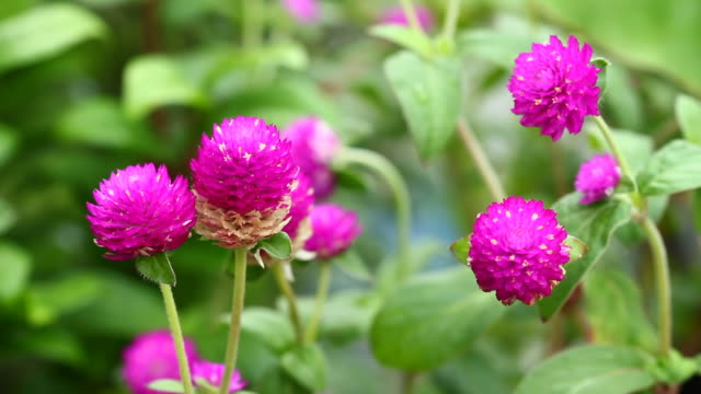 gomphrena globosa - pinaceae stock videos & royalty-free footage