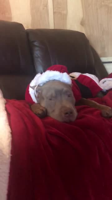 good boy seven enjoys his first christmas with a holiday movie. so precious! - number 7 stock videos & royalty-free footage