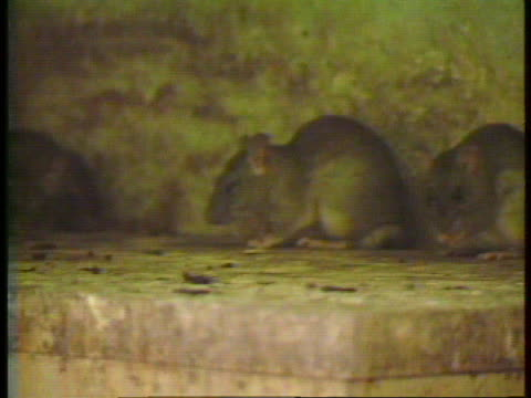 good file video or b-roll of rats, vermin in the wild, rooting through garbage, etc. can be used in covering hantavirus or other rodent carried... - rnaウイルス点の映像素材/bロール