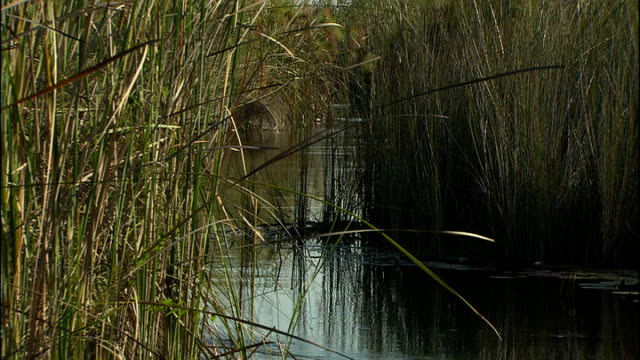 good views of african river wildlife and birds and plains wildlife; botswana: okavango delta: ext various good general views and close shots of reeds... - オカバンゴデルタ点の映像素材/bロール
