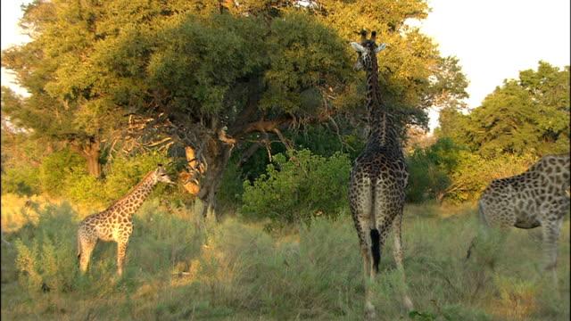 80 Top Hidden Giraffe Video Clips Footage Getty Images