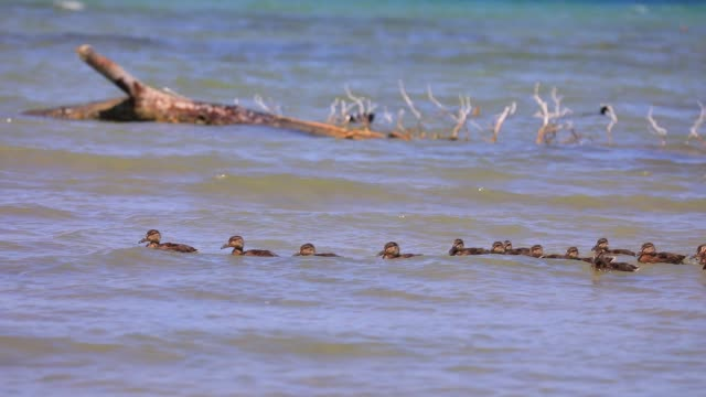 good weather by the lake bourget in spring on may 17 2020 in viviers du lac france ducklings accompanied by their mother - animals in the wild stock videos & royalty-free footage