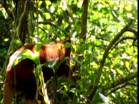 Goodfellow's tree kangaroo clambers about in forest, Papua New Guinea