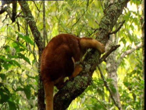 Goodfellow's tree kangaroo clambers around in tree, Papua New Guinea