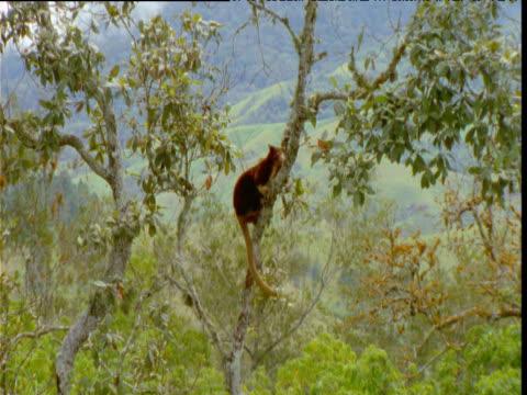 Goodfellow's tree kangaroo clambers unsteadily up tree trunk, Papua New Guinea