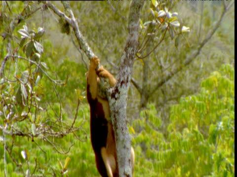 Goodfellow's tree kangaroo clambers up tree trunk and peers around, Papua New Guinea