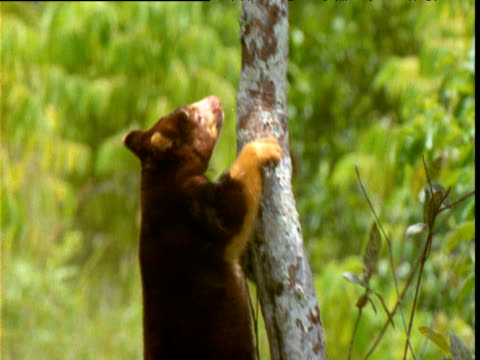 Goodfellow's tree kangaroo clambers up tree trunk, Papua New Guinea
