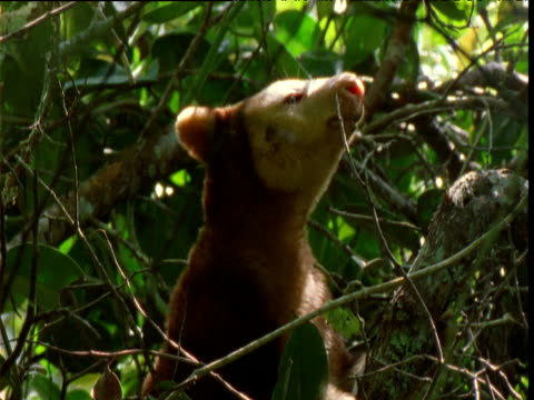 Goodfellow's tree kangaroo looks around and nibbles twig in canopy, Papua New Guinea