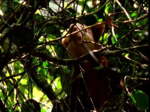 Goodfellow's tree kangaroo looks around in forest canopy, Papua New Guinea