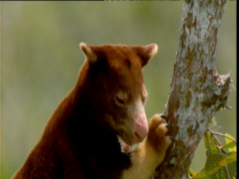Goodfellow's tree kangaroo looks around in tree, Papua New Guinea