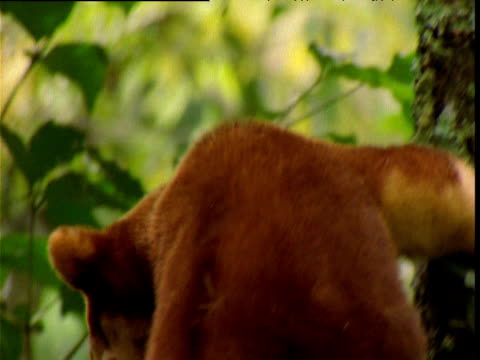 Goodfellow's tree kangaroo peers around canopy, Papua New Guinea