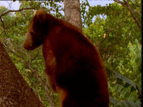 Goodfellow's tree kangaroo sits in tree and looks around, Papua New Guinea