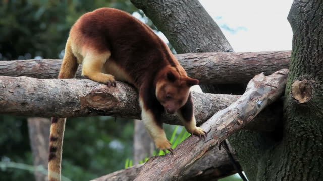 goodfellow's tree-kangaroo - papua stock videos and b-roll footage