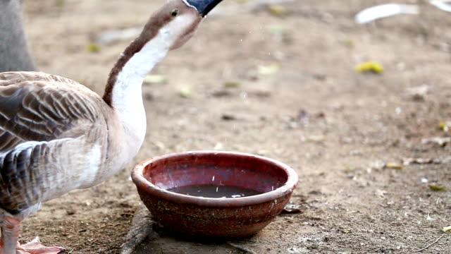 goose bird drinking water - water bird stock videos & royalty-free footage