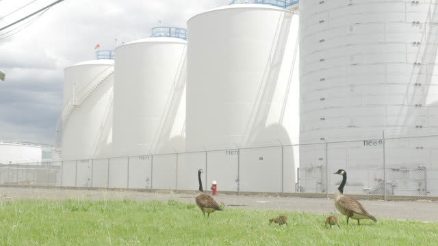 Goose Family and Oil Tanks under Bright Sunlight