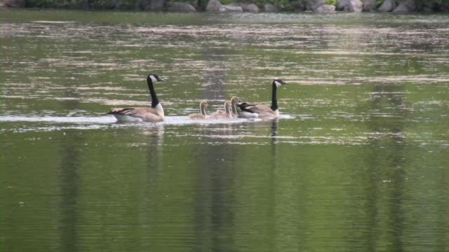 goose family, gosling, goslings, geese. - gosling stock videos & royalty-free footage