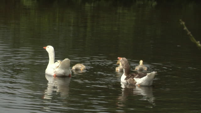 WS ZO Goose family swimming in lake / Hadamar, Hessen, Germany