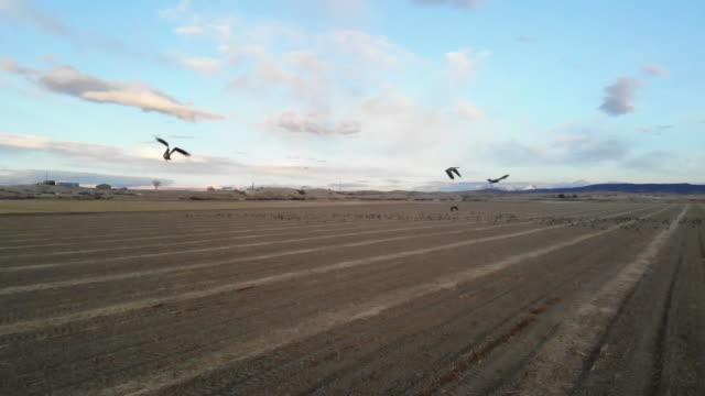 goose flocks feeding in rural grain fields and in flight western colorado outdoors - water bird stock videos & royalty-free footage