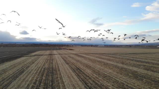 ガチョウの群れは、農村の穀物畑とコロラド州の屋外飛行で餌を与える - 雁点の映像素材/bロール