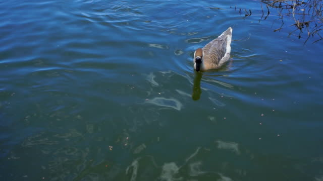 goose in the pond - goose meat stock videos and b-roll footage