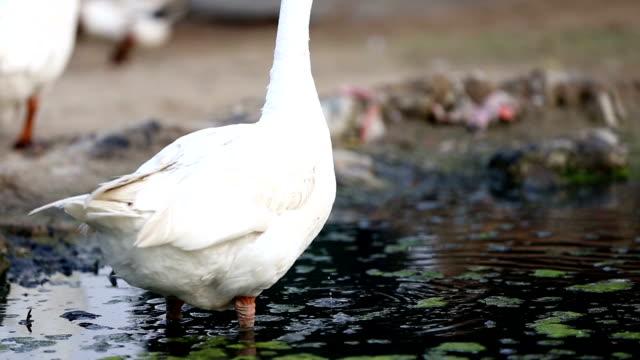 stockvideo's en b-roll-footage met ganzenlever in water - dierenvleugel
