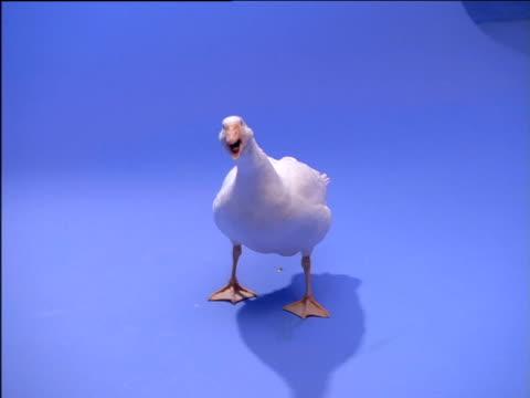 Goose looks around and quacks