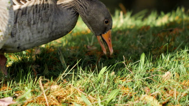 Goose on Grass Slow Motion