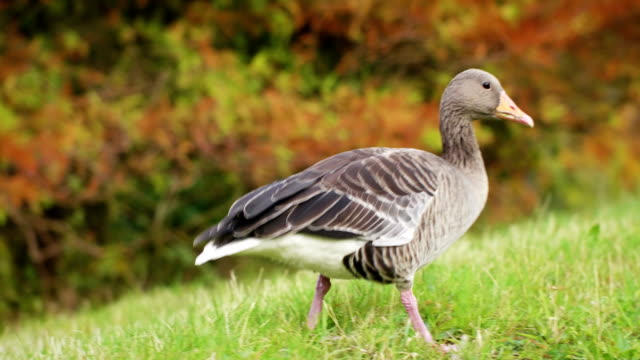 goose on grass - one animal stock videos & royalty-free footage