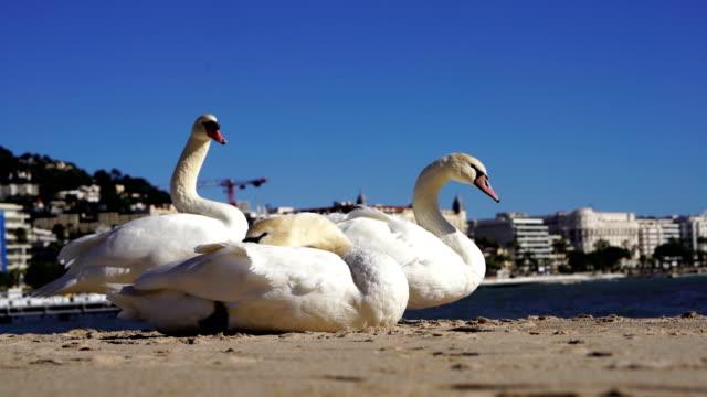 カンヌのビーチでガチョウ - 雁点の映像素材/bロール