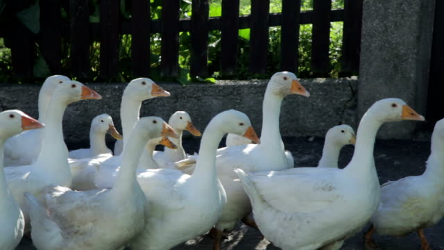 Goose-Stock Material