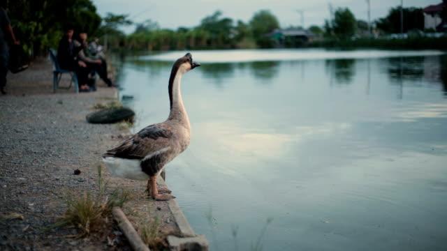 goose. - animal head stock videos & royalty-free footage