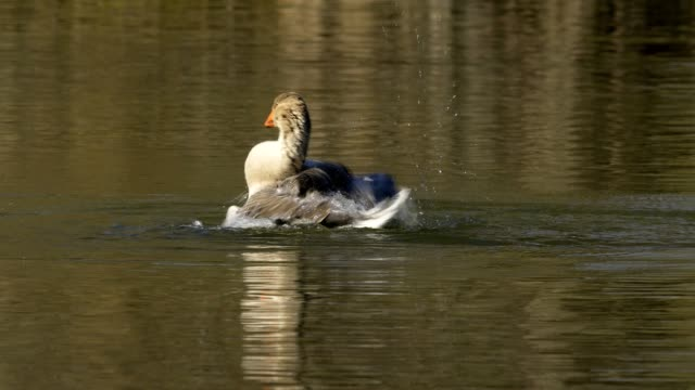 goose while bathing in spring - taking a bath stock videos & royalty-free footage