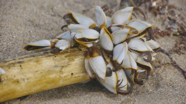 gooseneck barnacles - mollusk stock videos & royalty-free footage